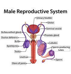 Chart showing male reproductive system vector