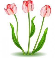 elegant tulips vector image