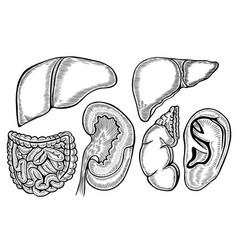 healthy viscera system part vector image