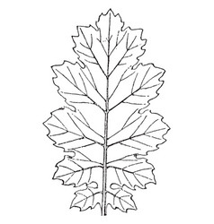 Leaf of akanthos mollis has broad tips to the vector