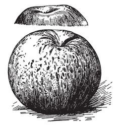 Rome beauty apple vintage vector