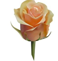 pastel rose isolated vector image