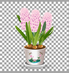 Pink potted hyacinth grows from a bulb in the soil vector