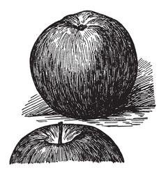 Stayman apple vintage vector