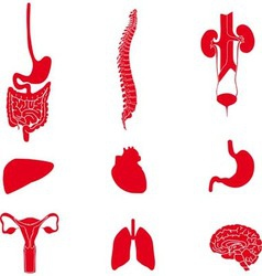 Set of human organs red vector image vector image