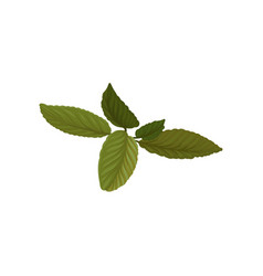 fresh green basil leaves aromatic annual herb vector image