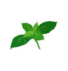 bright green leaves of fresh mint culinary herb vector image