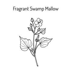 Fragrant swamp mallow pavonia odorata medicinal vector
