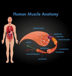 Human muscle anatomy education vector