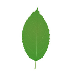 apple leaf isolated on white background vector image