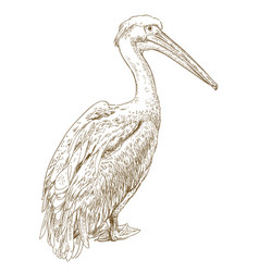 Engraving pelican vector