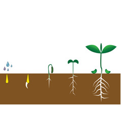 infographic of planting tree seedling gardening vector image