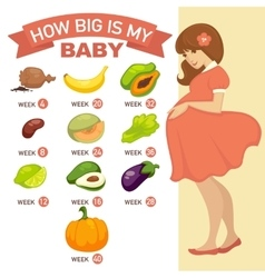 How big is my baby Pregnant infographic vector image