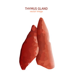 thymus gland image vector image