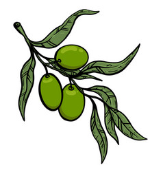 olive tree branch with olives design element vector image