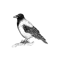 Raven sketch bird crows vector