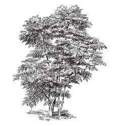 Aralia chinensis vintage vector