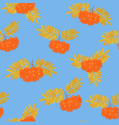 bunch of rowan berries with yellowed leaves vector image