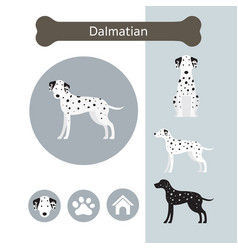 Dalmatian dog breed infographic vector