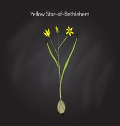 Yellow star-of-bethlehem gagea lutea flowering vector