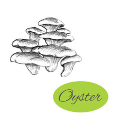 Oyster mushrooms drawing vector