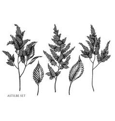 set hand drawn black and white astilbe vector image