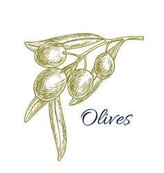 green olive branch sketch for organic food design vector image