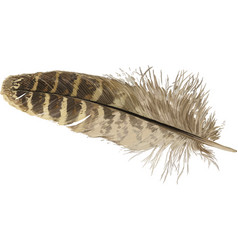 pheasant feather vector image vector image