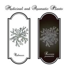 Oakmoss evernia prunastri medicinal plant vector