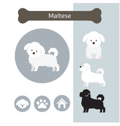 Maltese dog breed infographic vector