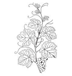 Natural branch vine have grape vine in this vector