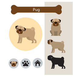 pug dog breed infographic vector image