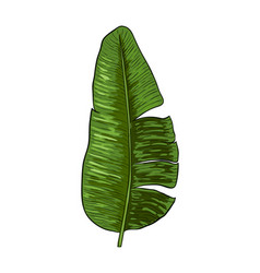 Banana leaves vector