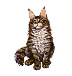 Maine coon sitting and looking away isolated on vector
