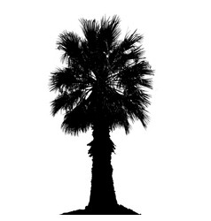 palm tree silhouette on white background vector image
