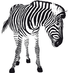 playful zebra vector image
