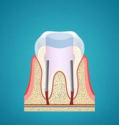 Healthy human tooth in cutaway vector