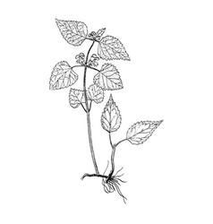 galeobdolon luteum botanical sketch vector image vector image