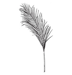 Areca palm frond comes from an asian tree vintage vector