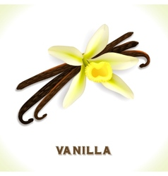 Vanilla pod isolated on white vector image vector image