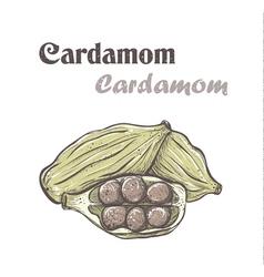 Cardamom Spice cardamom color skech Cardamom vector