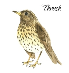 The thrush stand on white background vector image