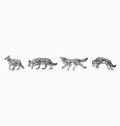 Gray wolf set wolf a predatory beast wild vector