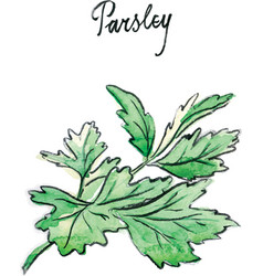 watercolor twig of parsley vector image