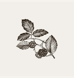 blackberry vintage hand drawn of vector image