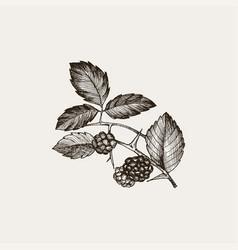 Blackberry vintage hand drawn vector