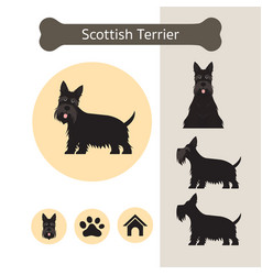 scottish terrier dog breed infographic vector image