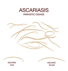 Ascaris lumbricoides male and female realistic vector