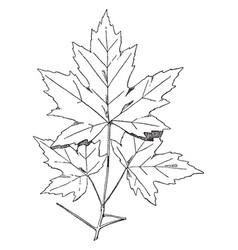 Spray of sugar maple designs were often used on vector