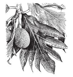 artocarpus incisa vintage vector image